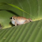 The Pipe Frogs